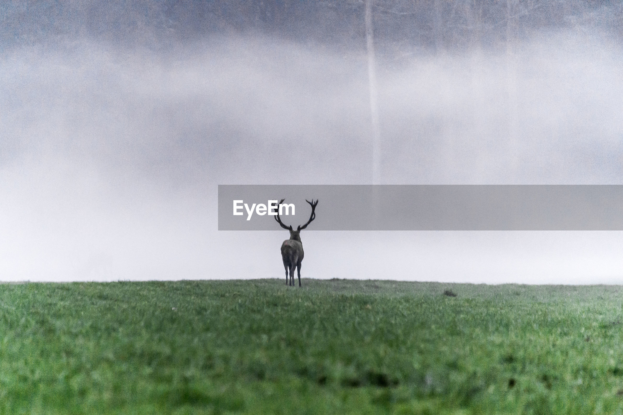 field, grass, deer, stag, nature, landscape, antler, animal themes, beauty in nature, antelope, one animal, animals in the wild, outdoors, no people, day, sky, scenics, mammal