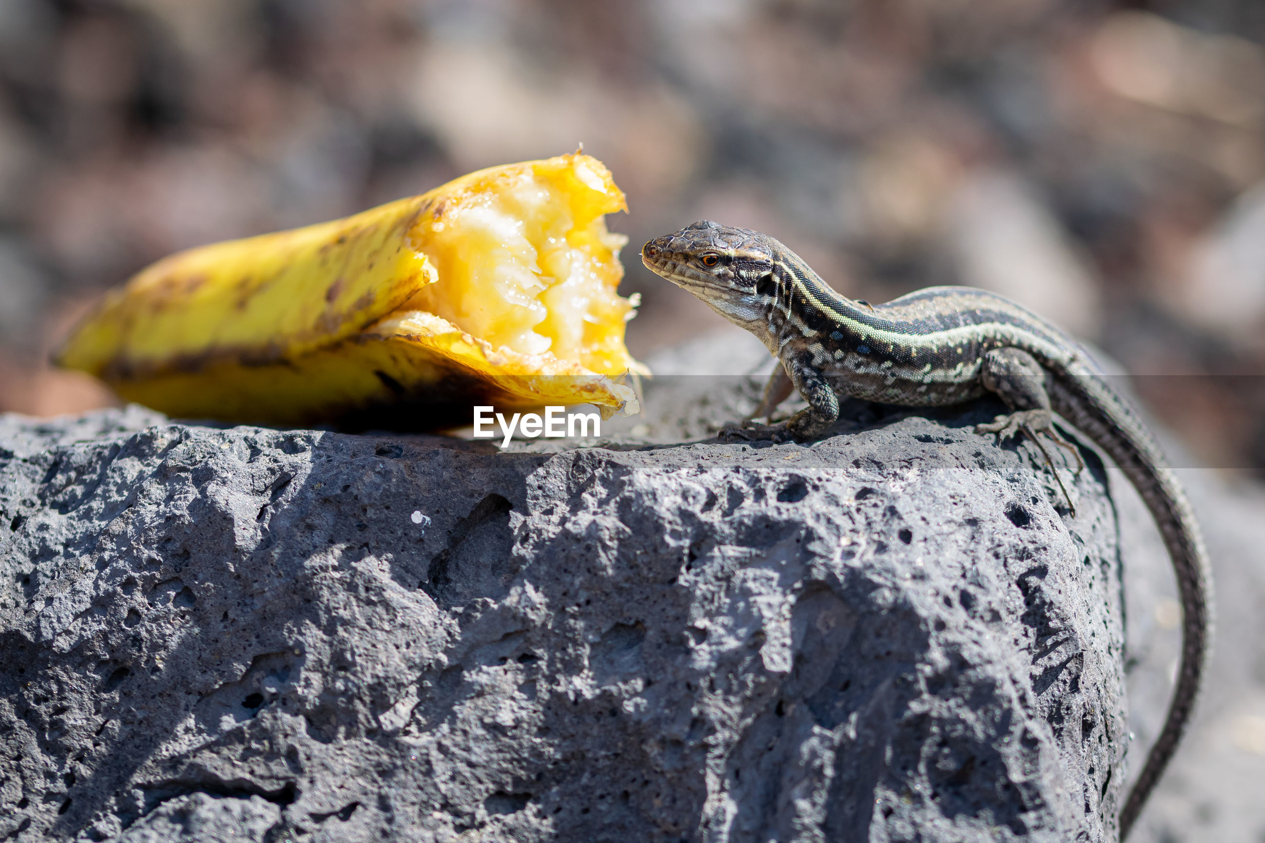 Gallotia galloti palmae eating banana on volcanic rock, male lizard has blue color under neck
