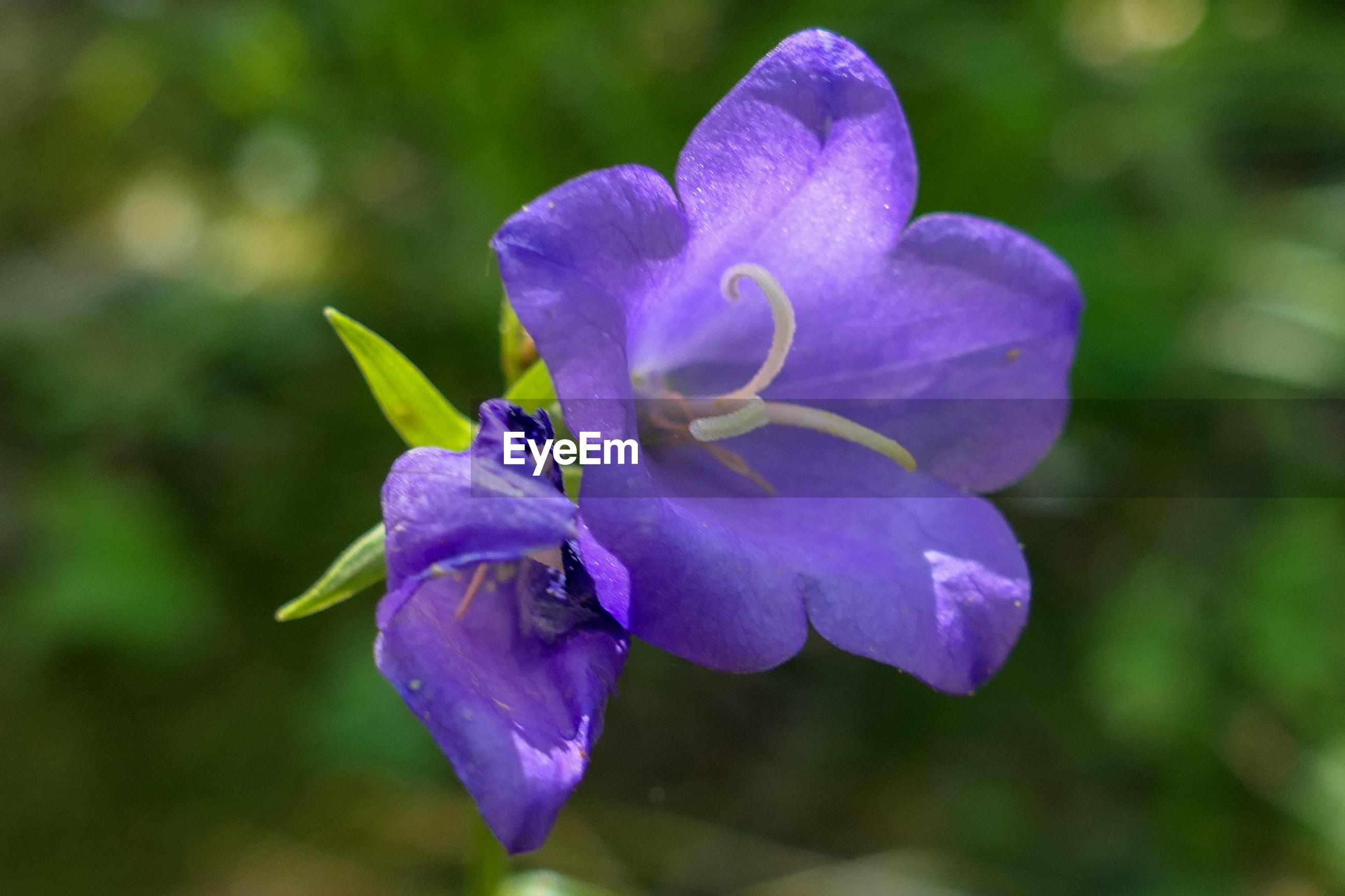 CLOSE-UP OF PURPLE IRIS FLOWER ON PLANT