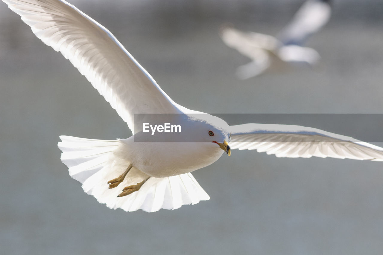 bird, spread wings, flying, animal themes, white color, one animal, animals in the wild, animal wing, animal wildlife, seagull, black-headed gull, day, sea bird, focus on foreground, mid-air, nature, outdoors, motion, no people, beauty in nature, close-up, swan