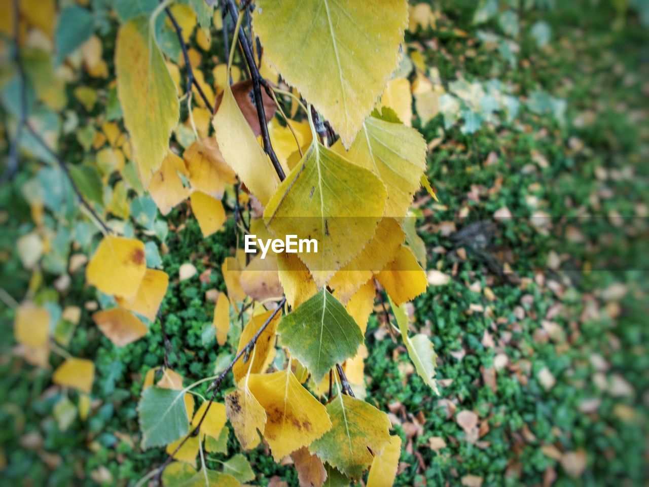 leaf, growth, autumn, nature, yellow, leaves, day, outdoors, beauty in nature, plant, no people, change, green color, close-up, focus on foreground, grape, fragility, maple, tree, freshness