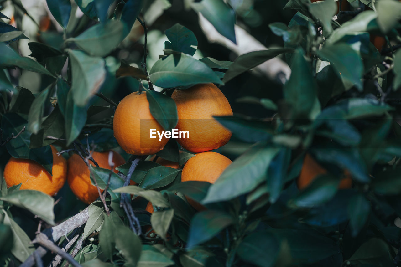 fruit, food, healthy eating, food and drink, leaf, plant part, orange color, citrus fruit, growth, freshness, orange, wellbeing, orange - fruit, plant, nature, green color, close-up, tree, no people, orange tree, outdoors, ripe