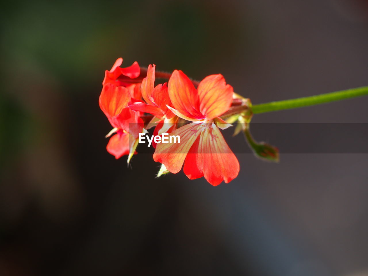 flower, growth, petal, nature, fragility, beauty in nature, plant, blooming, red, flower head, freshness, close-up, no people, outdoors, day