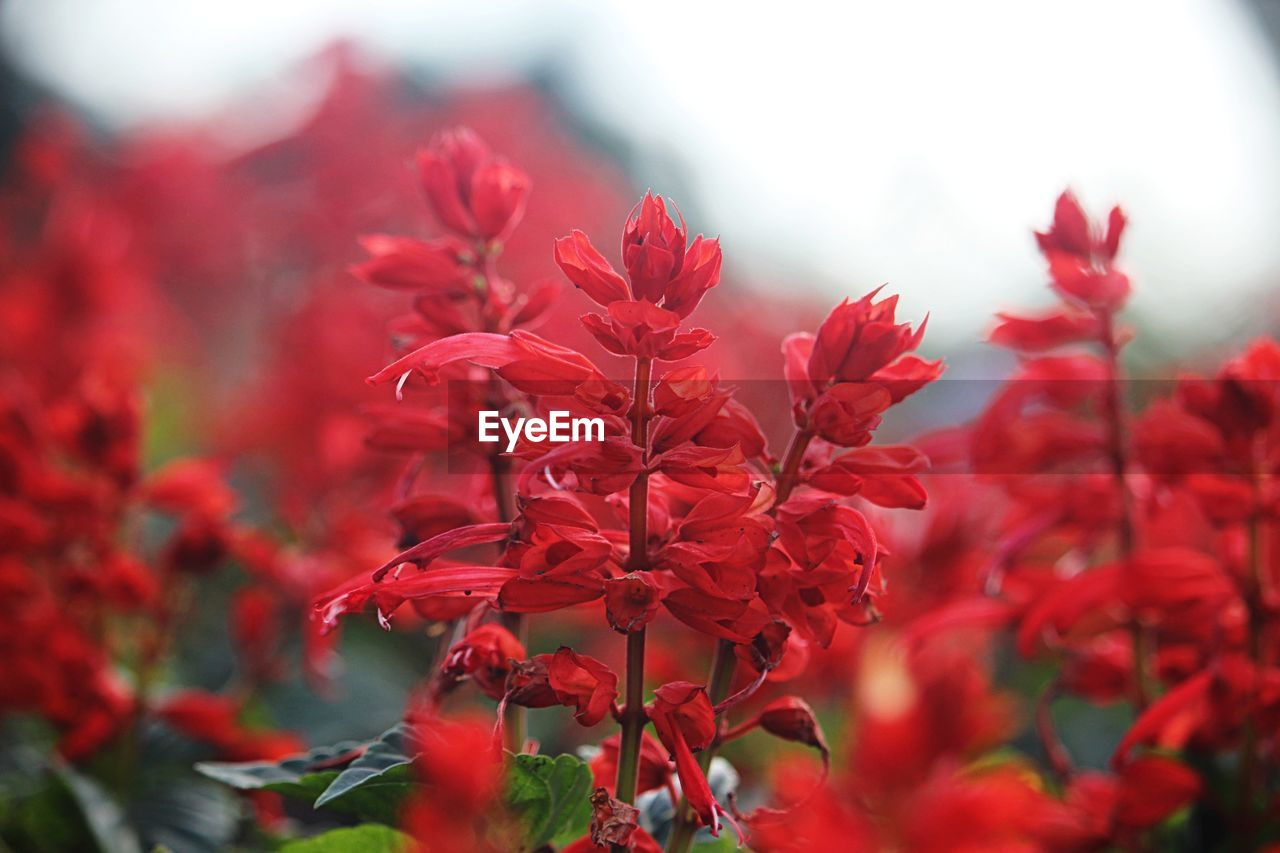 plant, beauty in nature, flowering plant, flower, red, growth, vulnerability, fragility, freshness, close-up, petal, day, nature, focus on foreground, selective focus, inflorescence, flower head, no people, outdoors, plant part