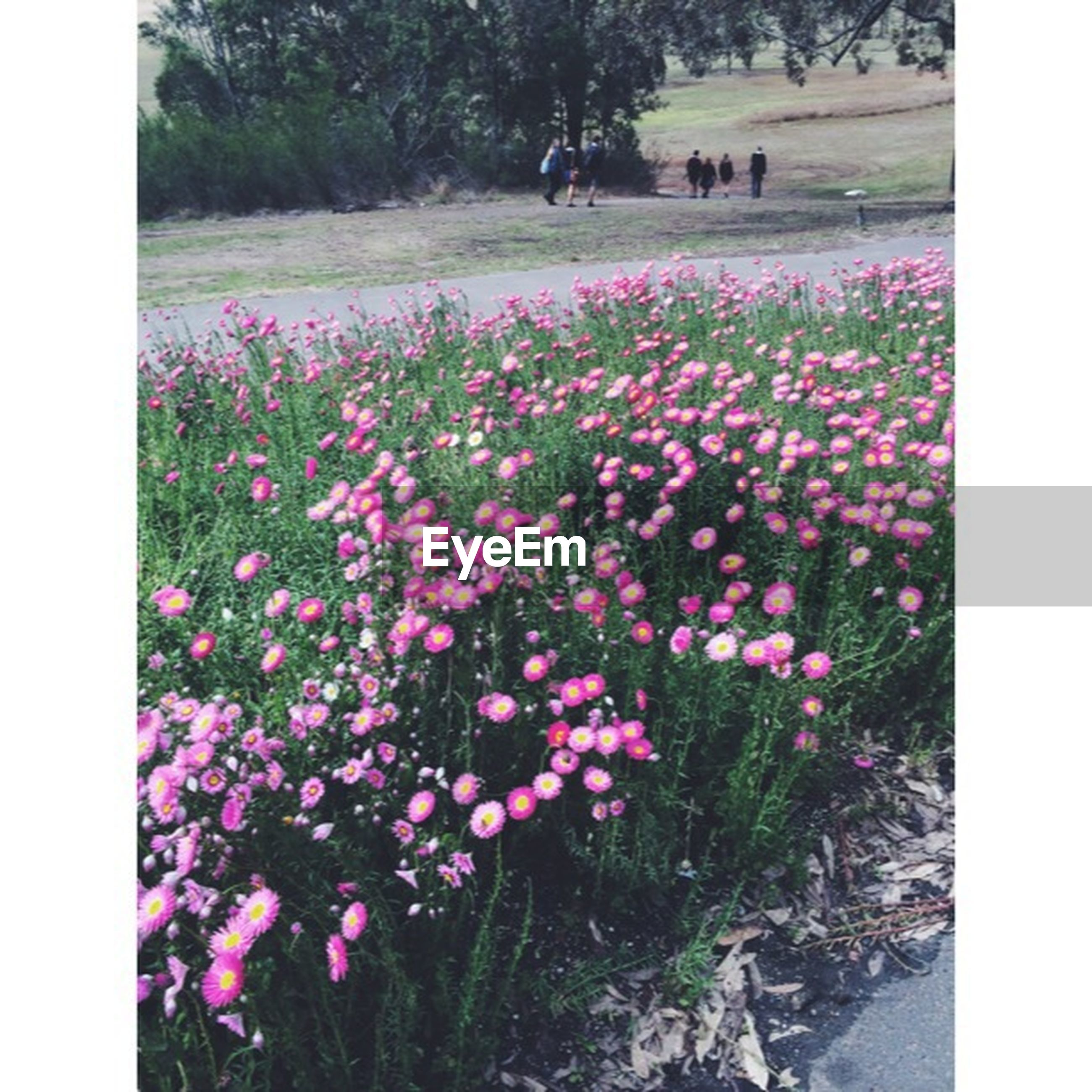 flower, transfer print, freshness, growth, auto post production filter, fragility, beauty in nature, field, blooming, nature, plant, petal, pink color, in bloom, park - man made space, blossom, outdoors, day, flower head, flowerbed
