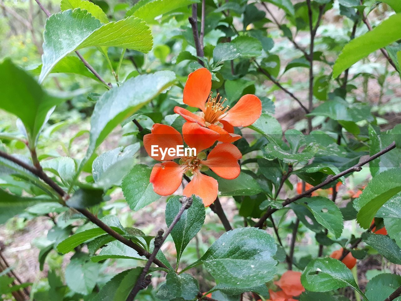plant, flowering plant, growth, freshness, flower, beauty in nature, leaf, plant part, orange color, petal, fragility, flower head, vulnerability, inflorescence, nature, close-up, no people, focus on foreground, day, green color, orange, outdoors