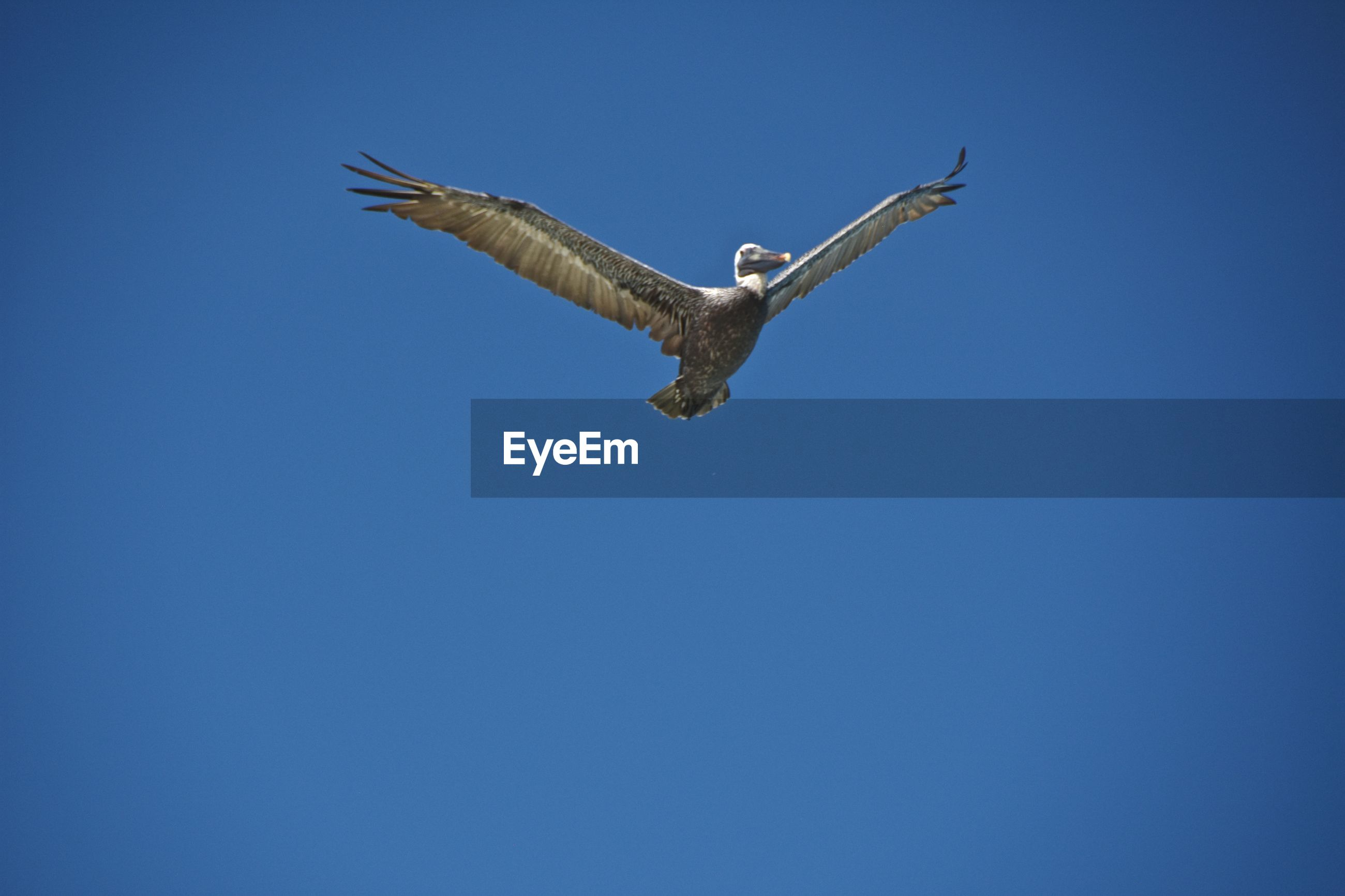 Low angle view of pelican flying against clear blue sky