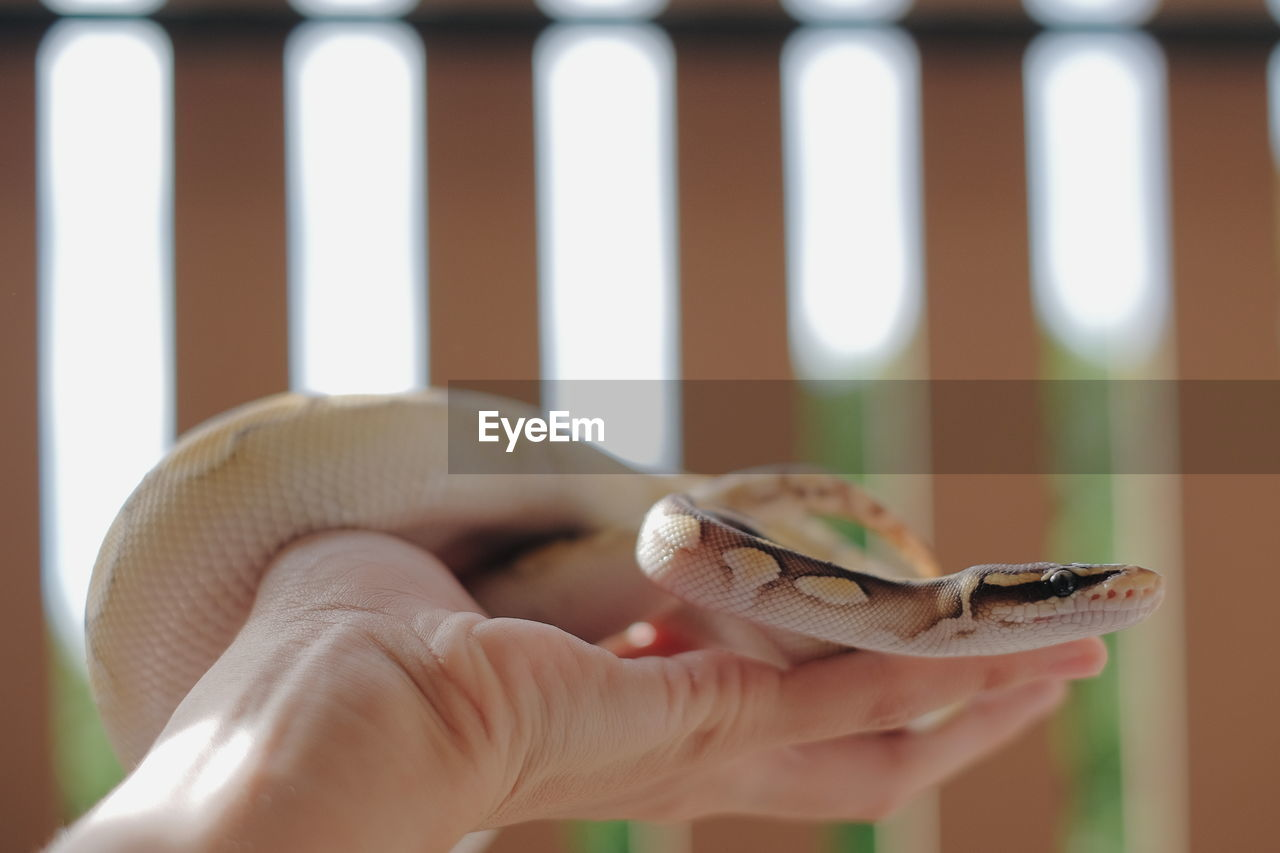 human hand, one person, hand, human body part, one animal, holding, reptile, real people, body part, vertebrate, animal wildlife, finger, human finger, day, focus on foreground, snake, animals in the wild, outdoors