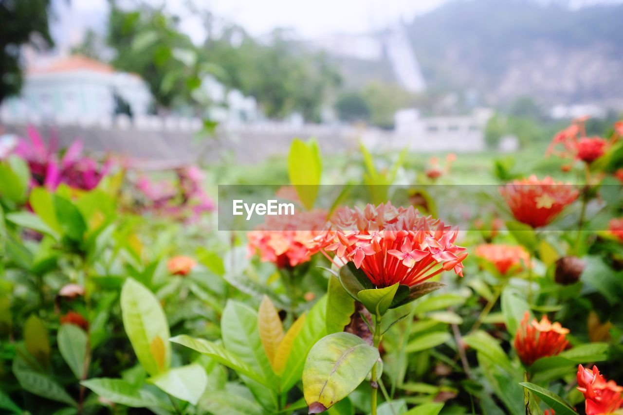 flowering plant, flower, vulnerability, fragility, plant, freshness, beauty in nature, growth, petal, close-up, inflorescence, flower head, plant part, nature, leaf, focus on foreground, day, red, no people, green color, outdoors, flowerbed