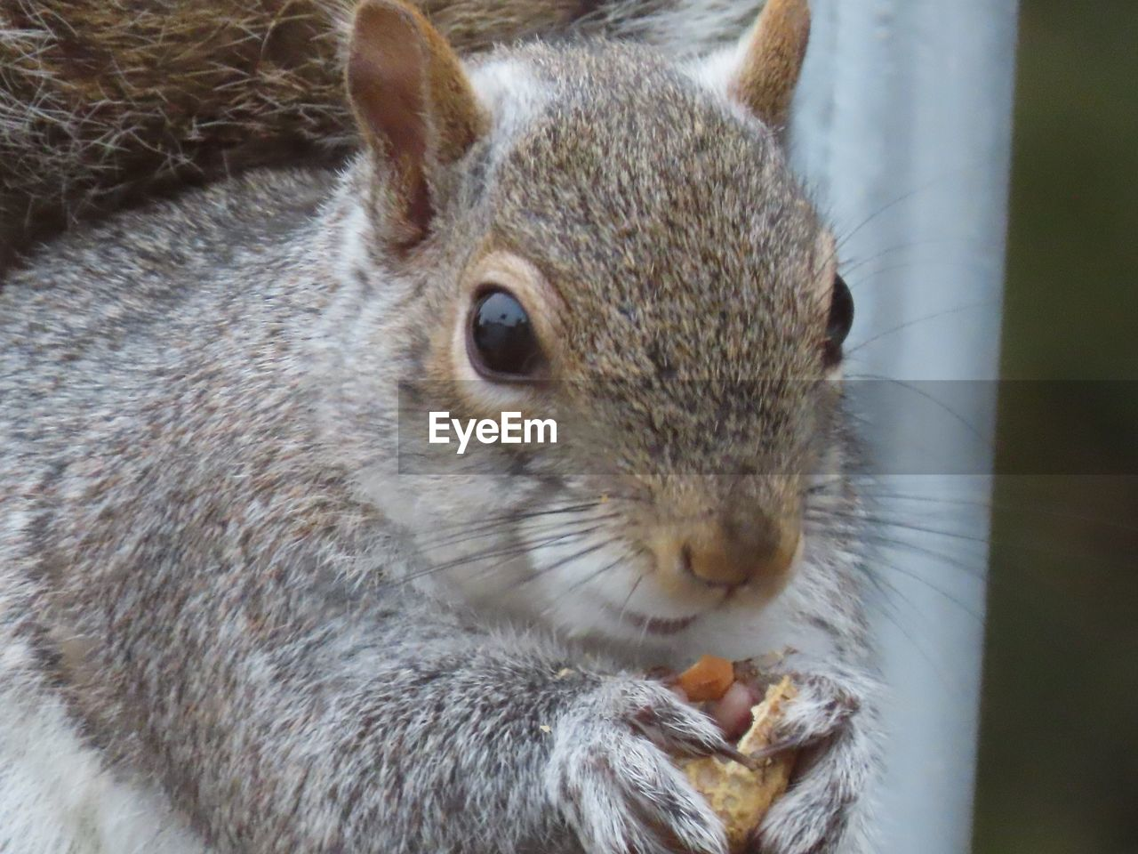 animal themes, one animal, animal, mammal, animal wildlife, rodent, close-up, animals in the wild, vertebrate, no people, day, focus on foreground, pets, domestic, eating, animal body part, rabbit, squirrel, outdoors, portrait, whisker, animal head, animal eye