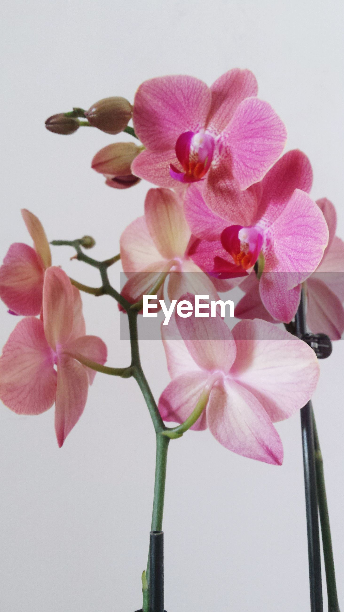 flower, fragility, petal, freshness, pink color, flower head, beauty in nature, growth, nature, close-up, stem, orchid, blooming, low angle view, in bloom, no people, plant, pink, day, indoors