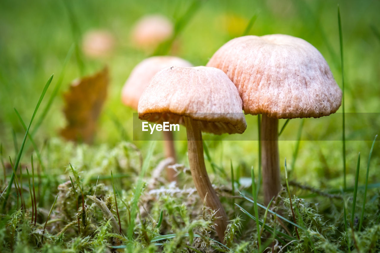 mushroom, fungus, vegetable, food, growth, plant, land, close-up, field, grass, nature, toadstool, beauty in nature, selective focus, no people, day, vulnerability, fragility, edible mushroom, green color, outdoors, wild, surface level