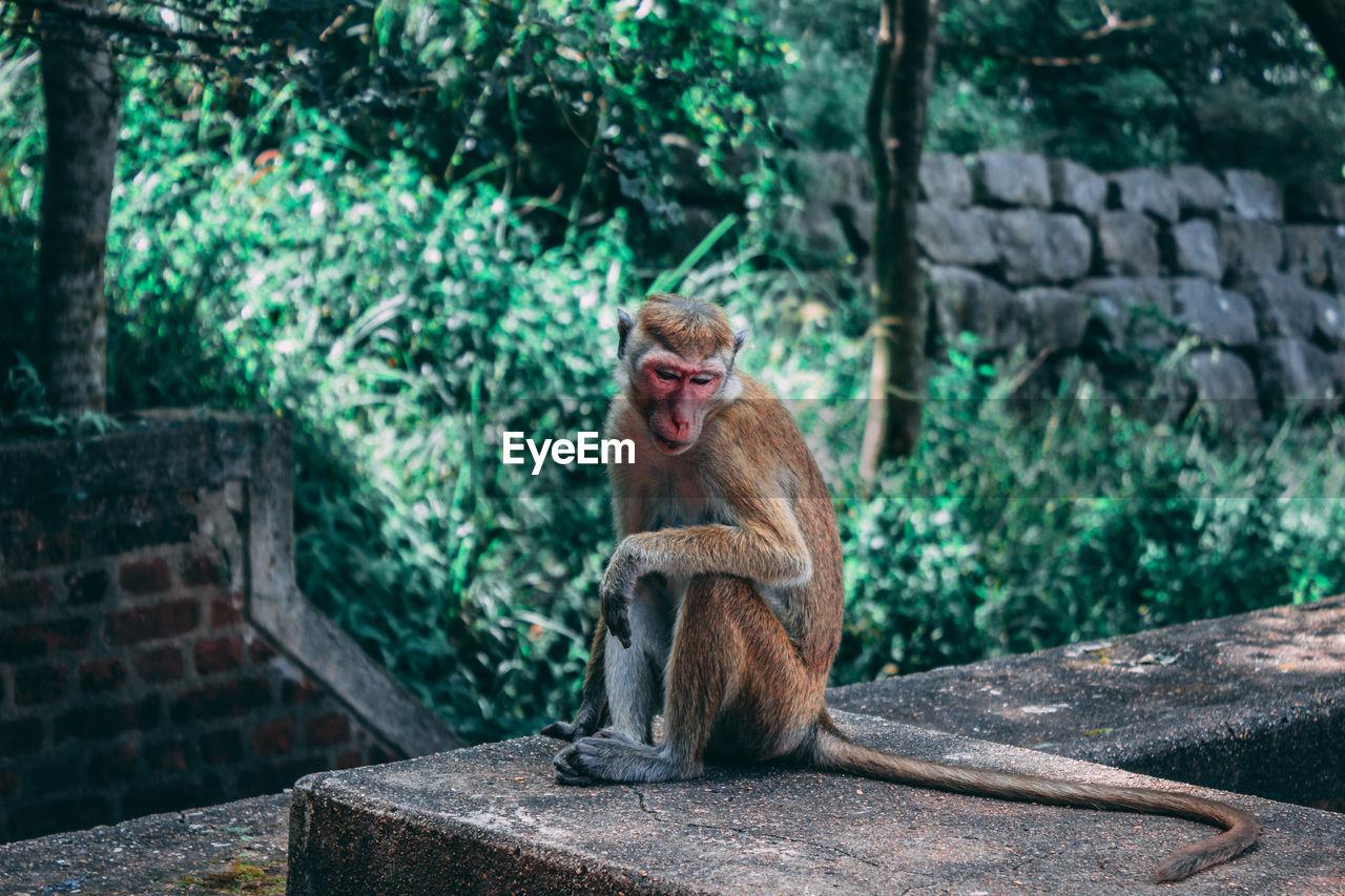 Monkey on retaining wall