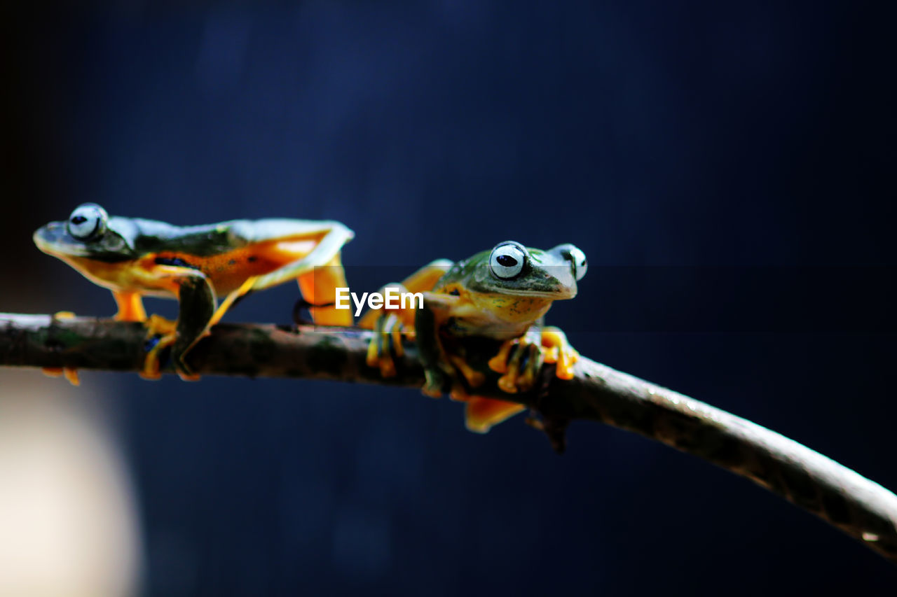 animal themes, animal, animal wildlife, vertebrate, close-up, animals in the wild, one animal, nature, amphibian, focus on foreground, no people, branch, frog, reptile, day, outdoors, selective focus, plant, animal eye