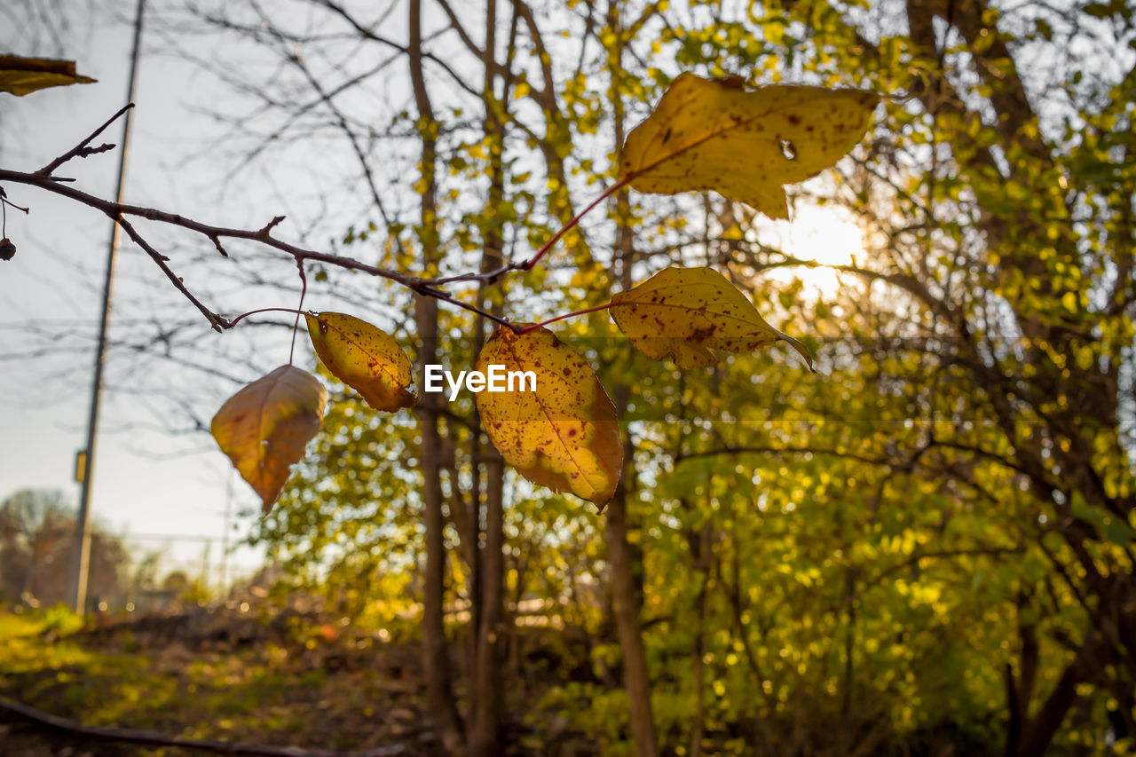 autumn, leaf, nature, change, beauty in nature, yellow, tree, focus on foreground, outdoors, day, no people, growth, branch, low angle view, scenics, close-up, maple, sky