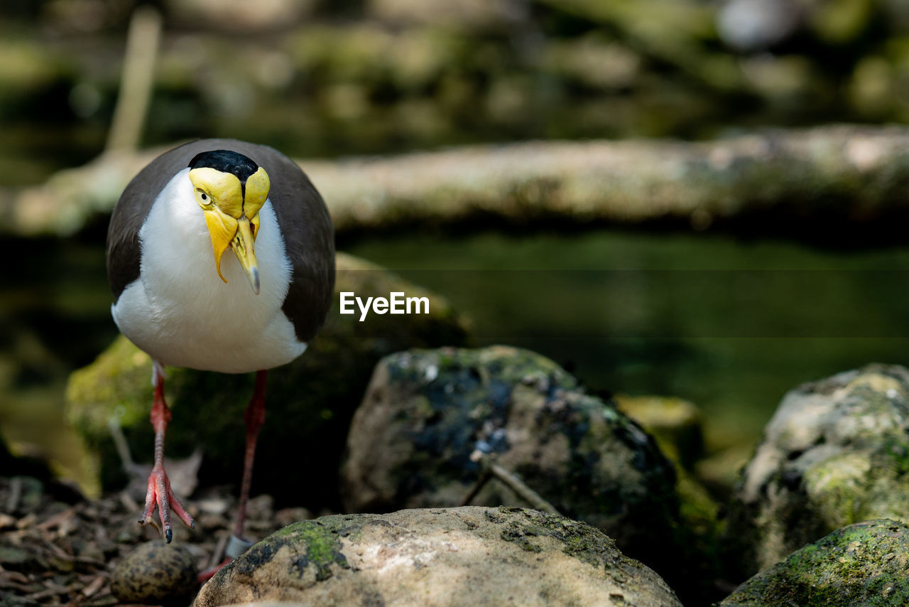 bird, animal, animal themes, vertebrate, rock, rock - object, one animal, solid, animals in the wild, animal wildlife, focus on foreground, no people, day, perching, nature, outdoors, front view, water, white color, close-up, seagull