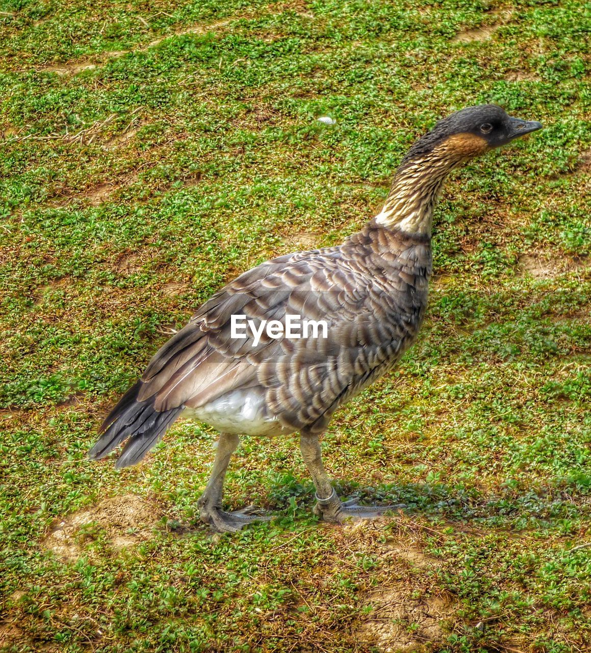 animal themes, bird, one animal, grass, animals in the wild, field, animal wildlife, day, no people, outdoors, nature