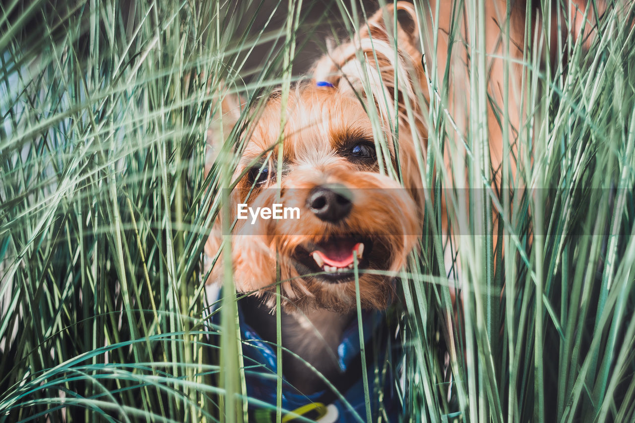 A yorkshire terrier looks out of the green grass and laughs. fun dog play on a walk in the field