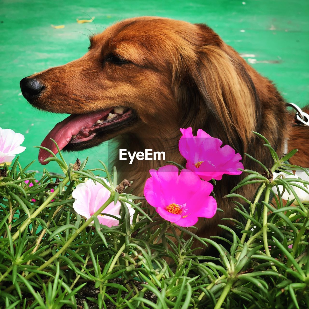 one animal, plant, flowering plant, flower, dog, animal themes, mammal, animal, canine, pets, domestic animals, domestic, vertebrate, grass, nature, close-up, green color, pink color, no people, brown, animal tongue, mouth open, animal head