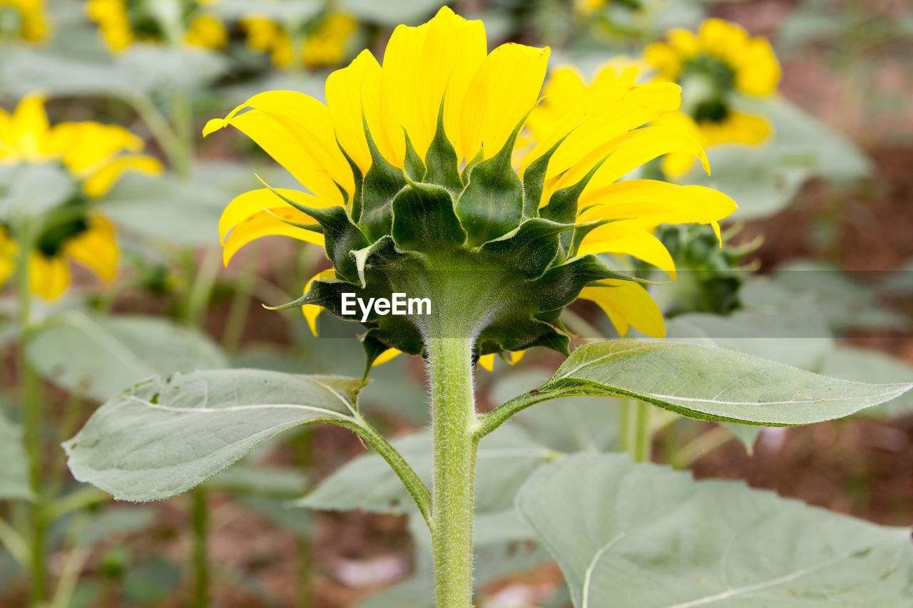 growth, plant, flower, flowering plant, beauty in nature, vulnerability, fragility, yellow, close-up, freshness, focus on foreground, leaf, plant part, flower head, nature, petal, inflorescence, day, green color, no people, outdoors, sepal
