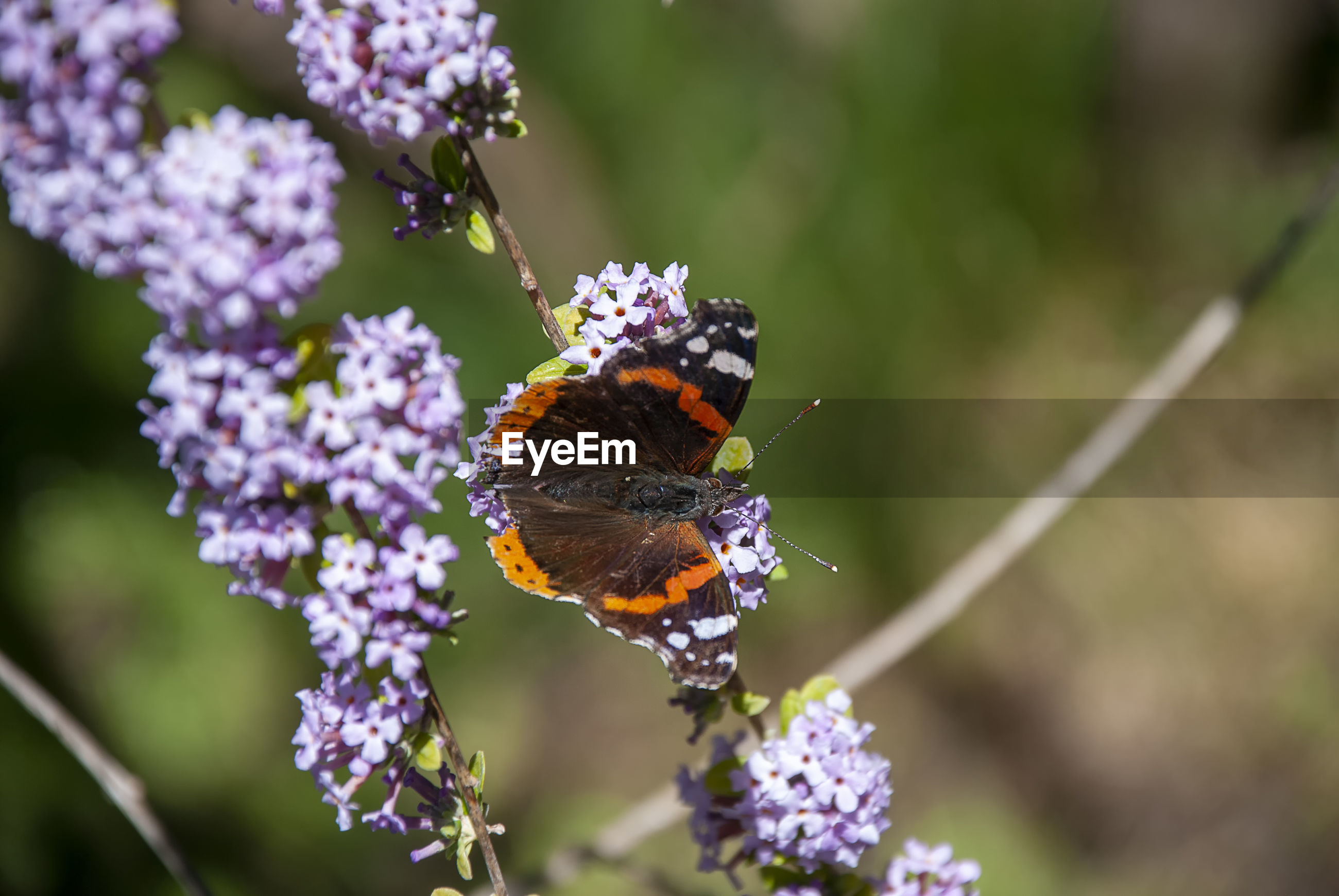 CLOSE-UP OF BUTTERFLY POLLINATING ON PURPLE FLOWERING