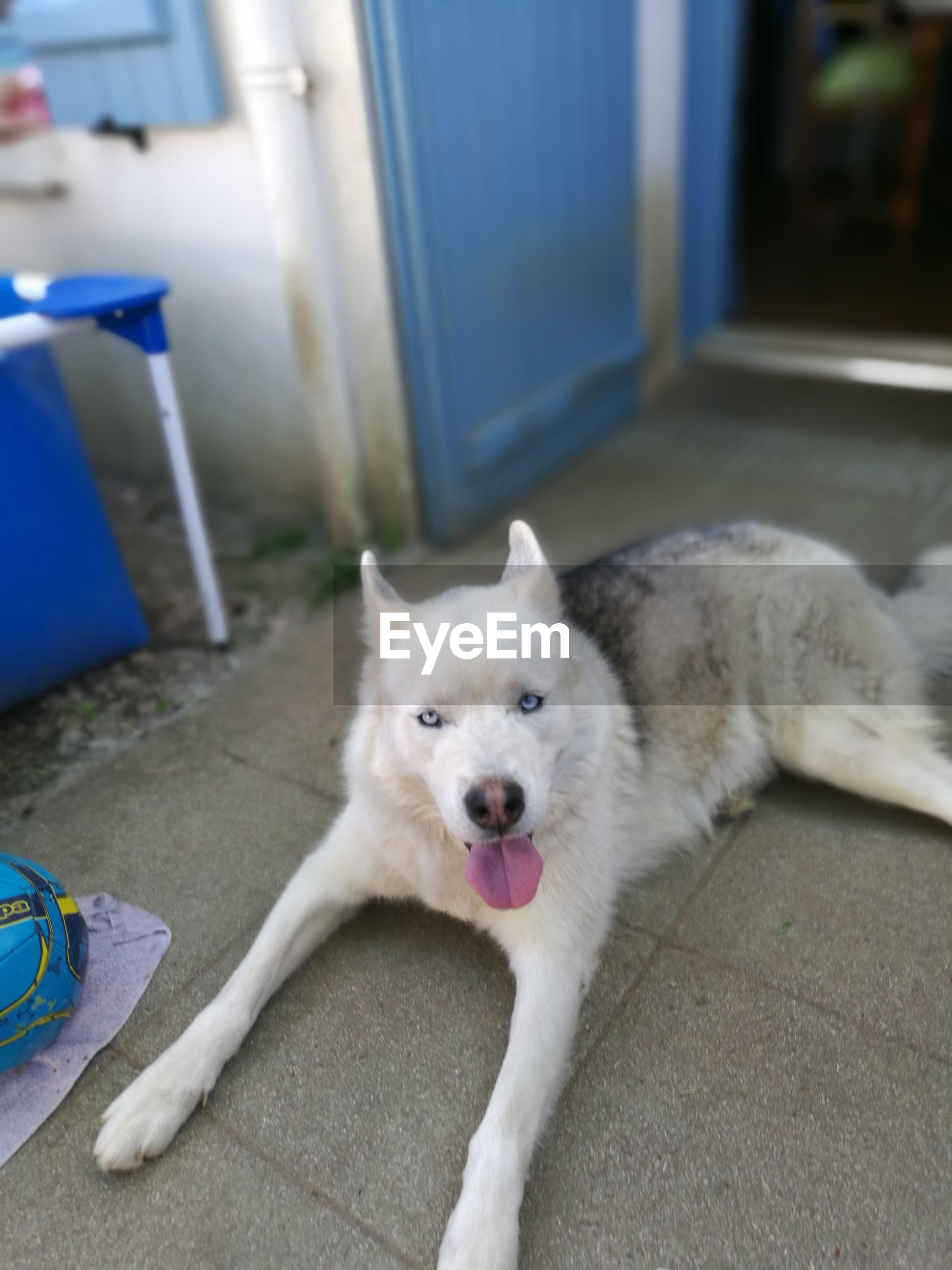 High angle portrait of husky lying on floor