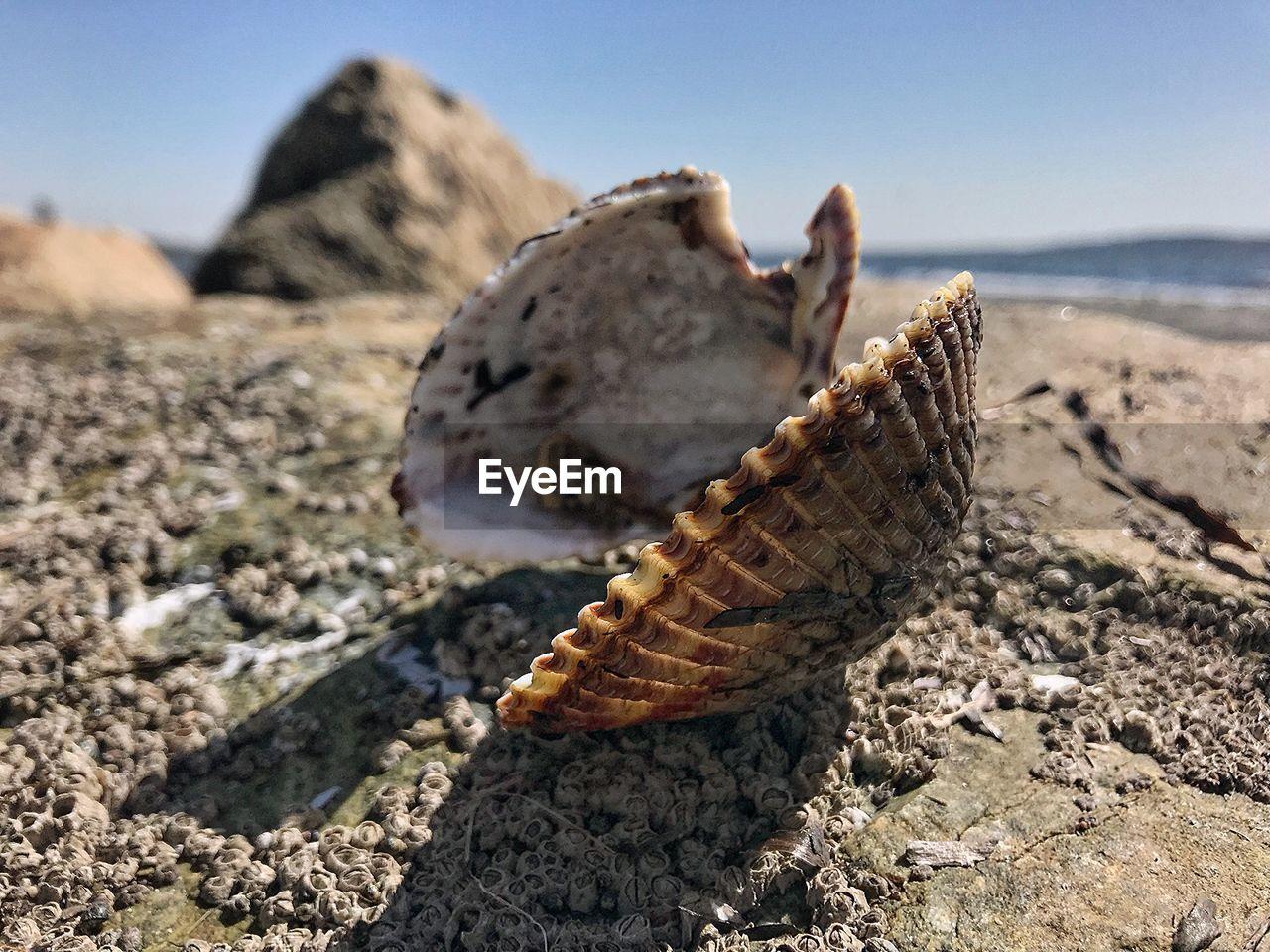 Close-up of seashell at beach