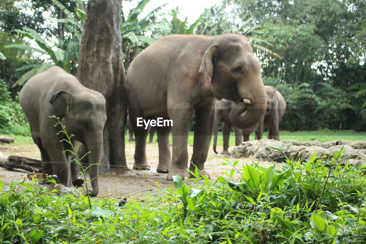 plant, animal, animal themes, tree, mammal, group of animals, animal wildlife, elephant, animals in the wild, forest, nature, day, vertebrate, land, grass, two animals, standing, no people, domestic animals, young animal, outdoors, animal trunk, herbivorous, animal family