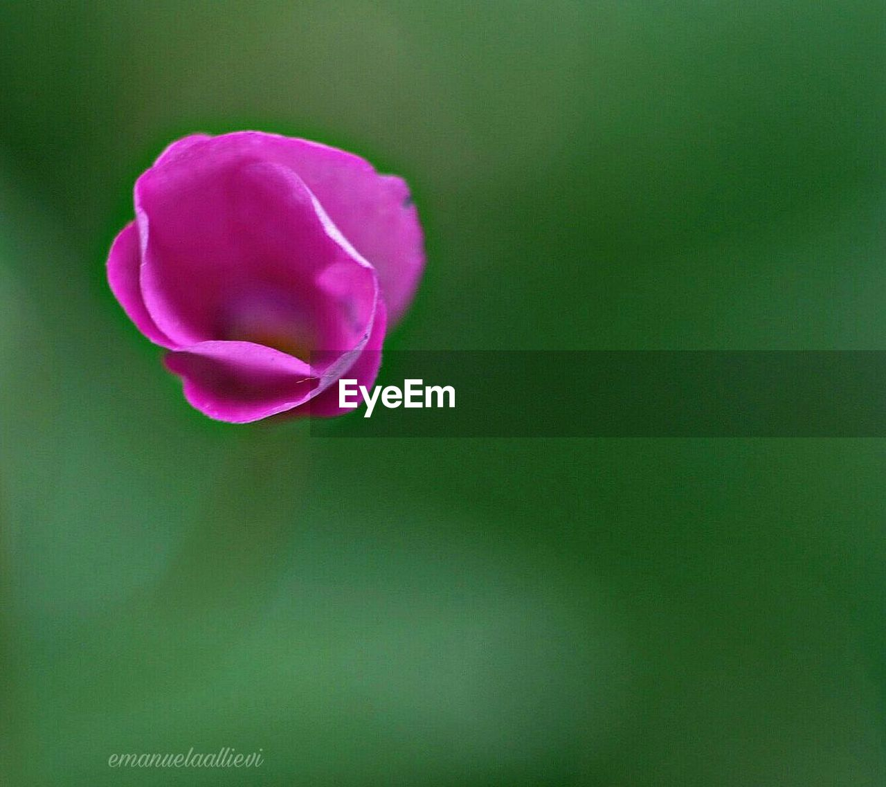 flower, petal, nature, beauty in nature, fragility, flower head, growth, freshness, blooming, plant, no people, close-up, outdoors, day