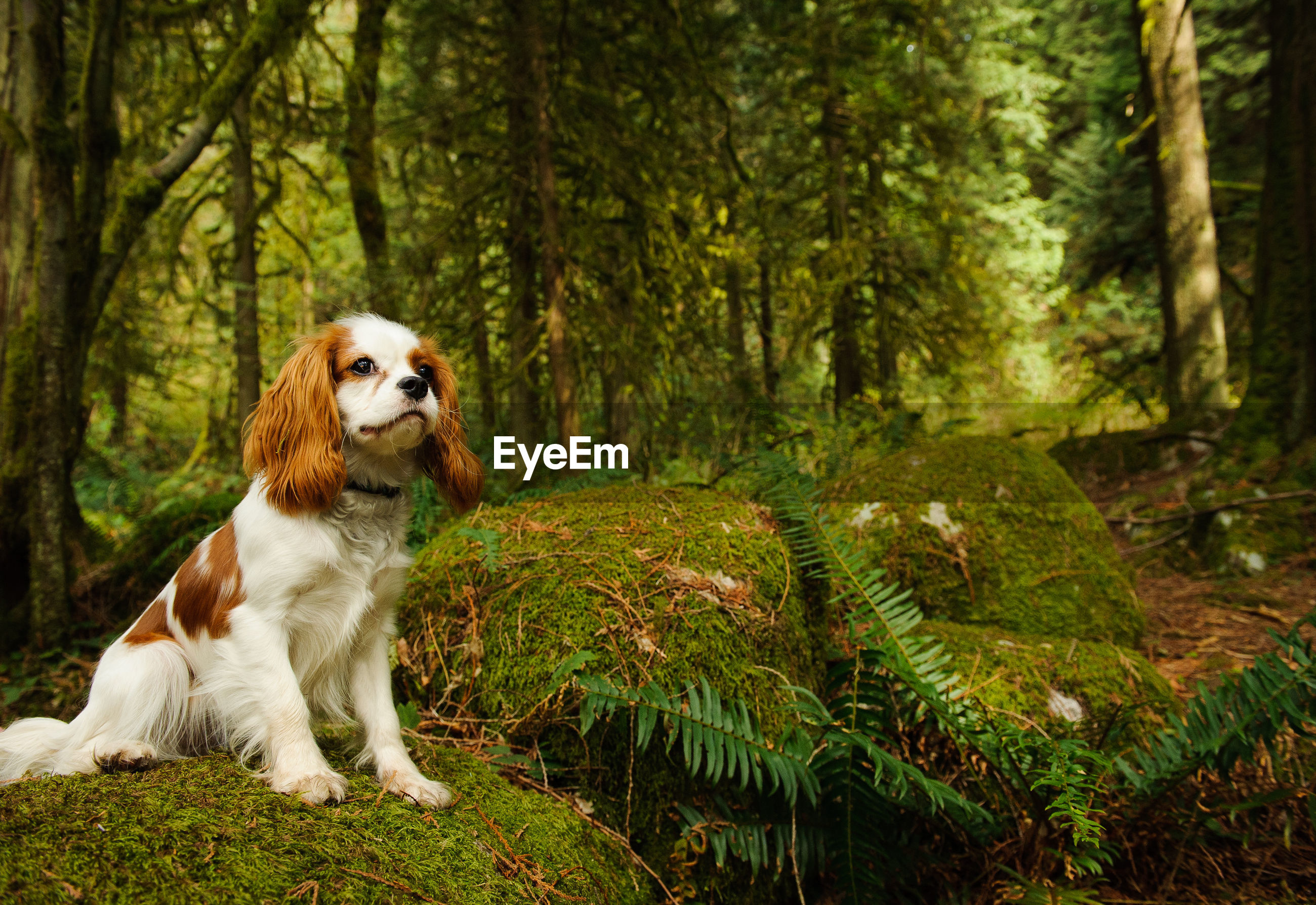 Close-up of cavalier king charles spaniel by trees in forest
