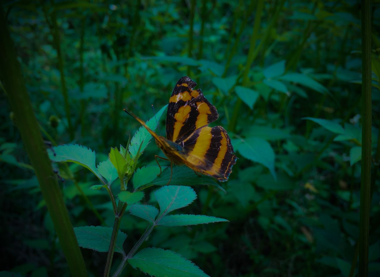 beauty in nature, animals in the wild, plant, animal wildlife, one animal, animal themes, leaf, plant part, animal, insect, invertebrate, butterfly - insect, close-up, nature, no people, animal wing, flower, growth, green color, flowering plant, outdoors, butterfly, pollination, flower head