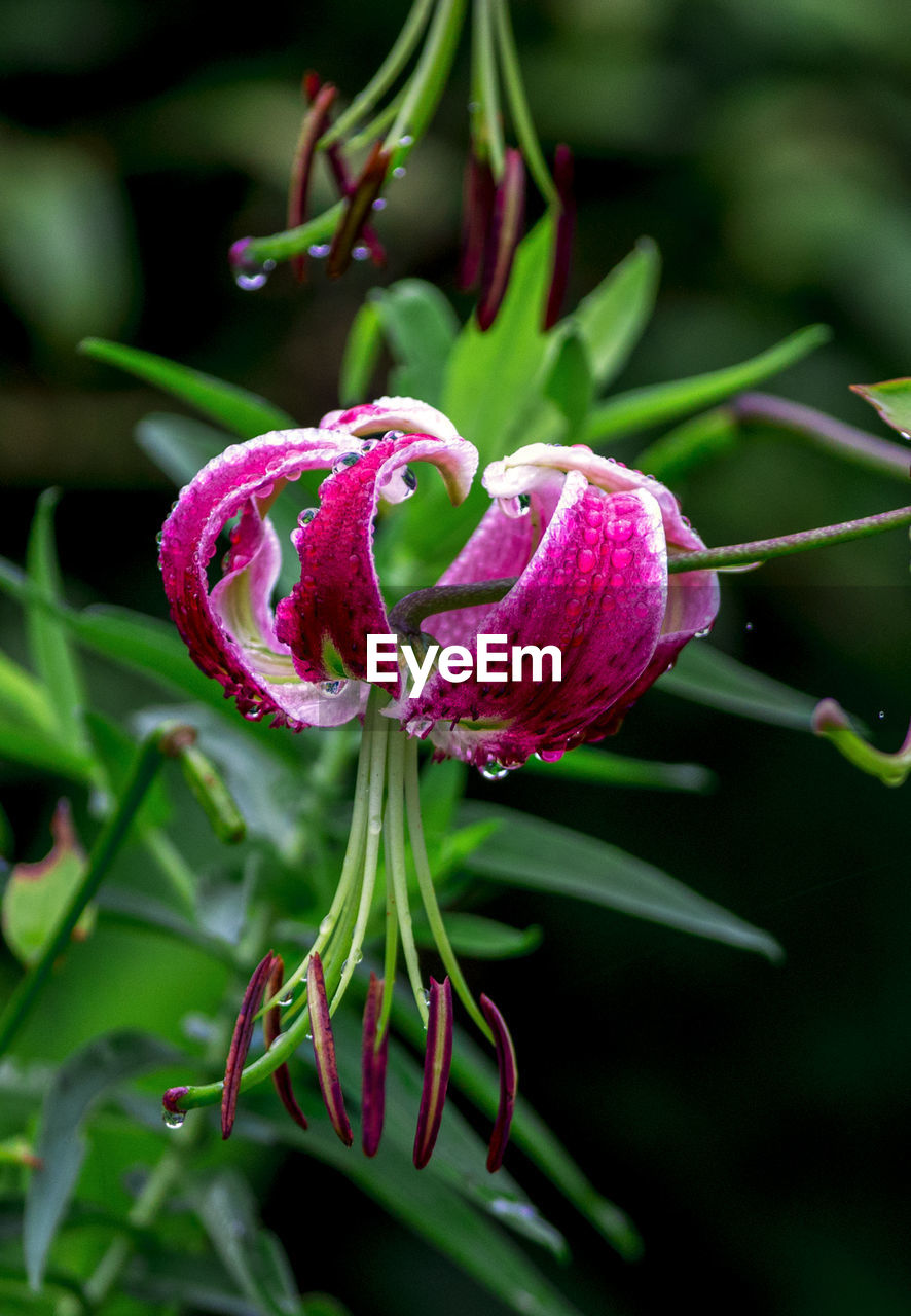 plant, flower, growth, flowering plant, beauty in nature, freshness, fragility, vulnerability, close-up, petal, nature, focus on foreground, no people, green color, inflorescence, flower head, pink color, bud, day, botany, purple, outdoors, springtime, pollen, sepal