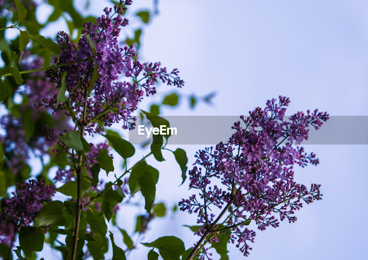 plant, growth, flowering plant, flower, beauty in nature, purple, fragility, vulnerability, freshness, low angle view, nature, sky, no people, leaf, plant part, day, tree, close-up, petal, outdoors, springtime, lilac, flower head, spring