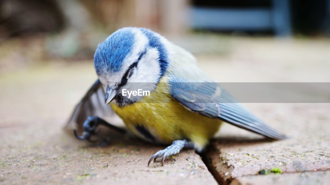 animal themes, animal wildlife, animal, animals in the wild, bird, vertebrate, one animal, day, close-up, focus on foreground, no people, selective focus, bluetit, blue, yellow, nature, outdoors, perching, full length, zoology