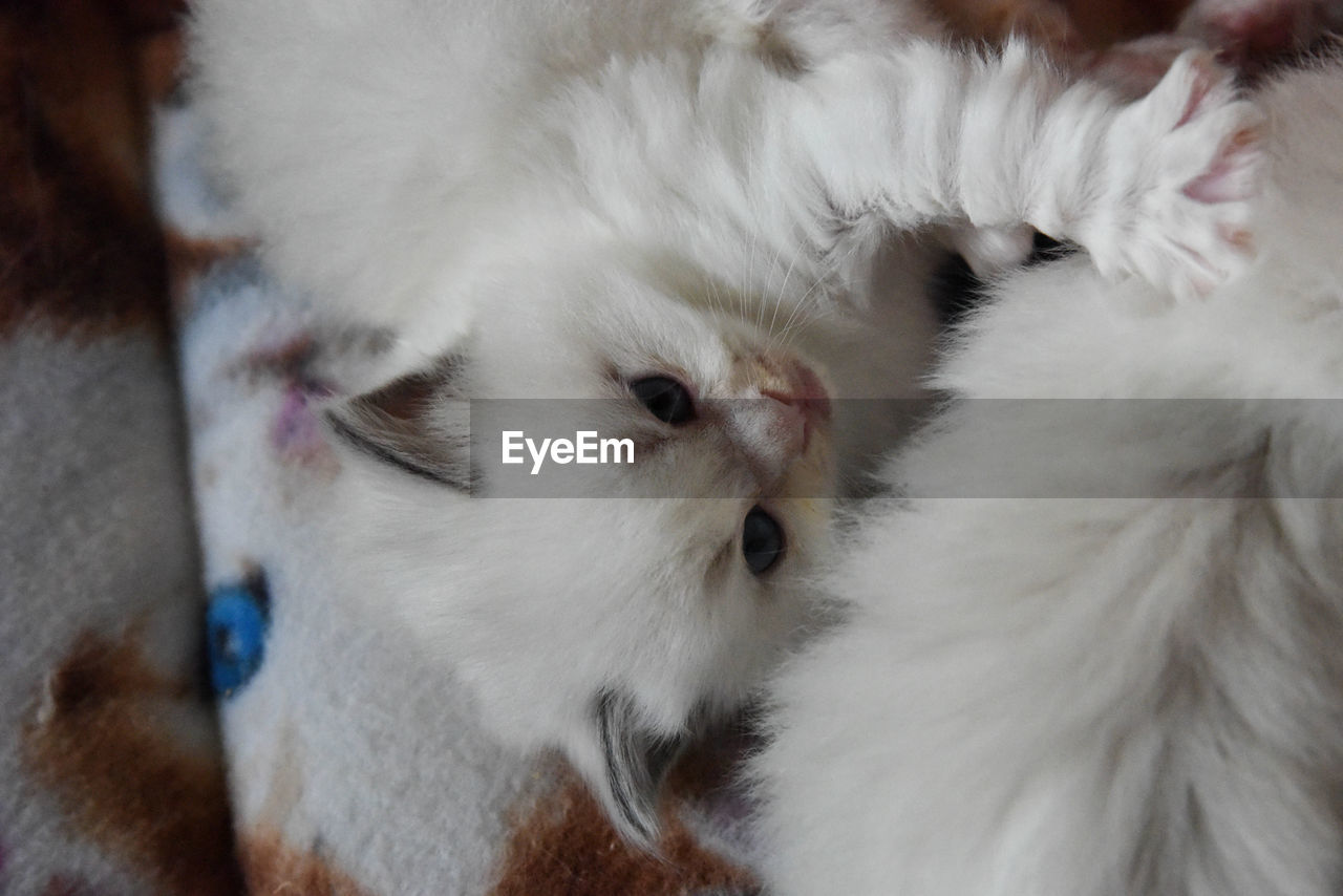 animal, animal themes, domestic cat, mammal, domestic, pets, cat, domestic animals, white color, feline, vertebrate, one animal, no people, relaxation, indoors, close-up, animal body part, animal hair, whisker, animal head, animal eye