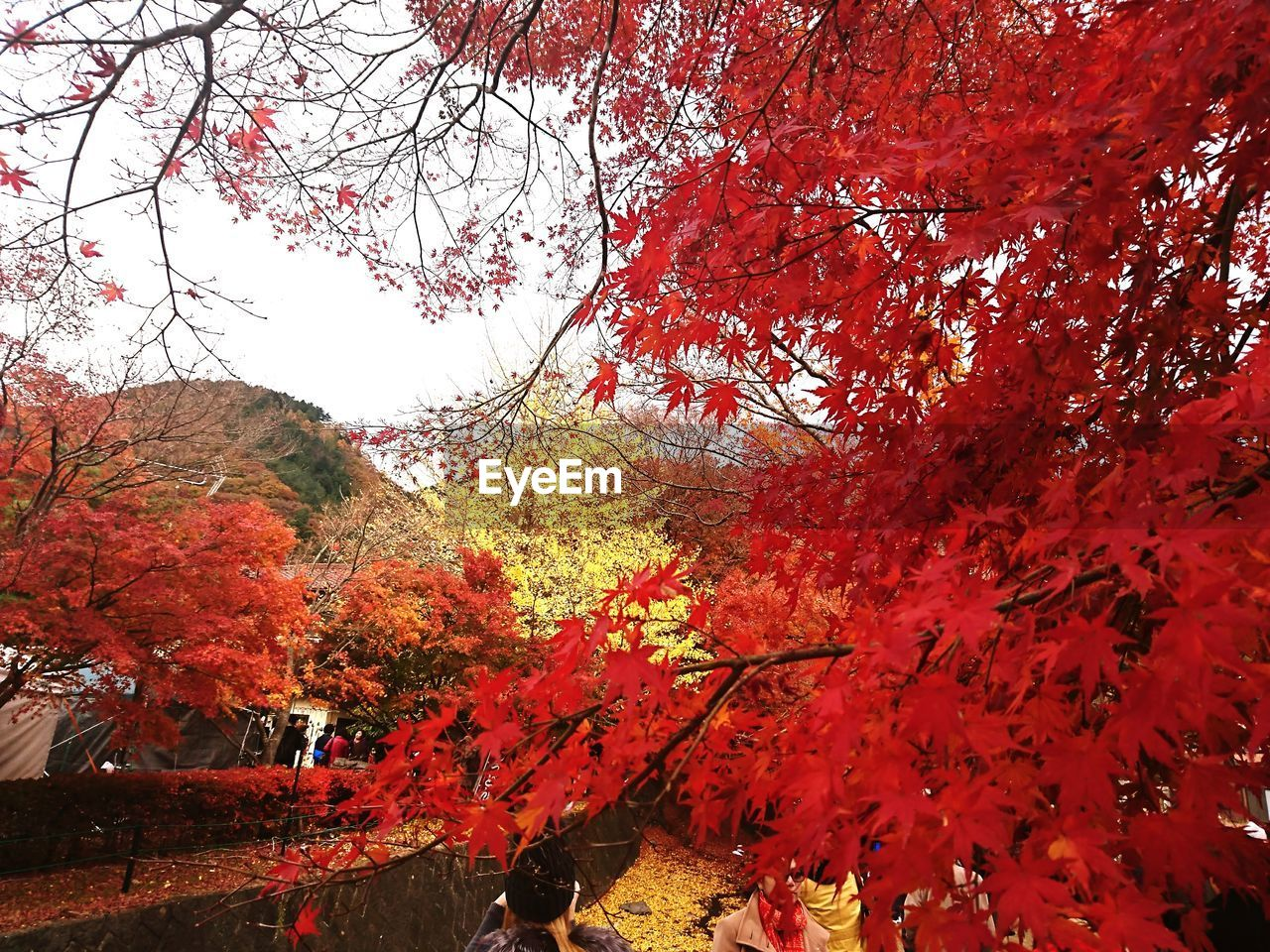 autumn, change, tree, leaf, red, nature, beauty in nature, branch, maple tree, outdoors, day, growth, scenics, tranquility, maple leaf, tranquil scene, forest, no people, sky, maple