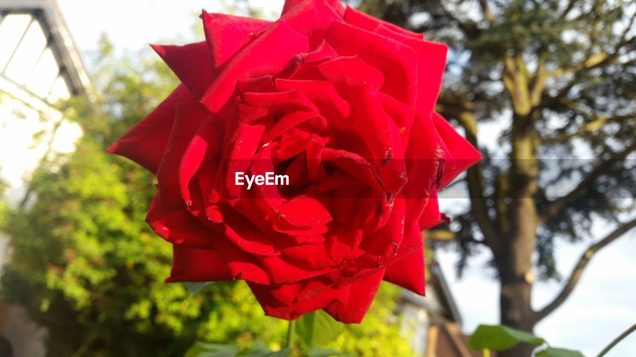 red, flower, petal, beauty in nature, nature, rose - flower, fragility, day, freshness, no people, close-up, flower head, focus on foreground, outdoors, growth, blooming, rose petals