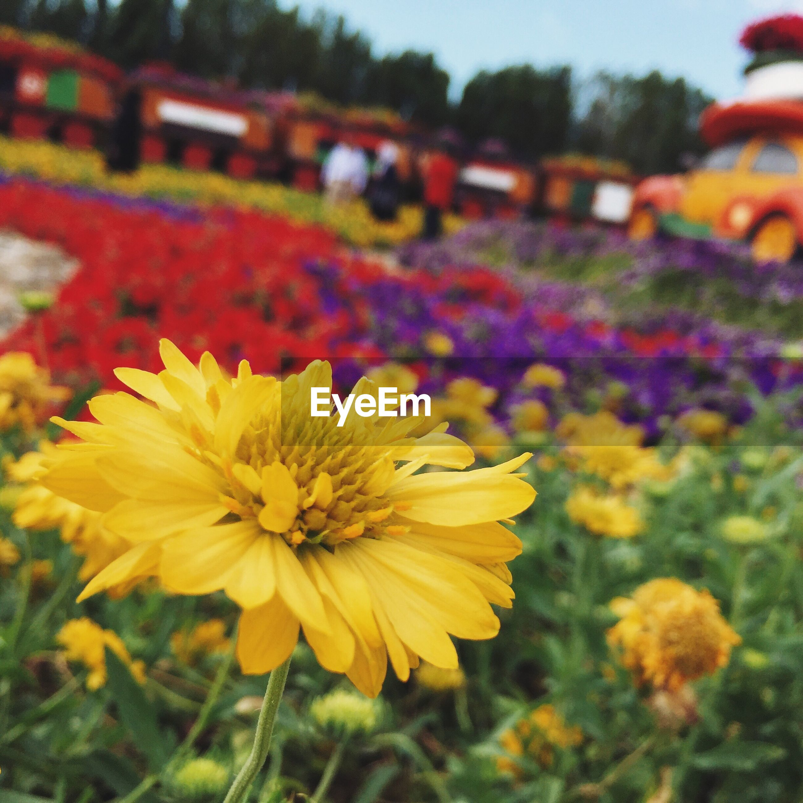 High angle view of yellow flowers blooming in park