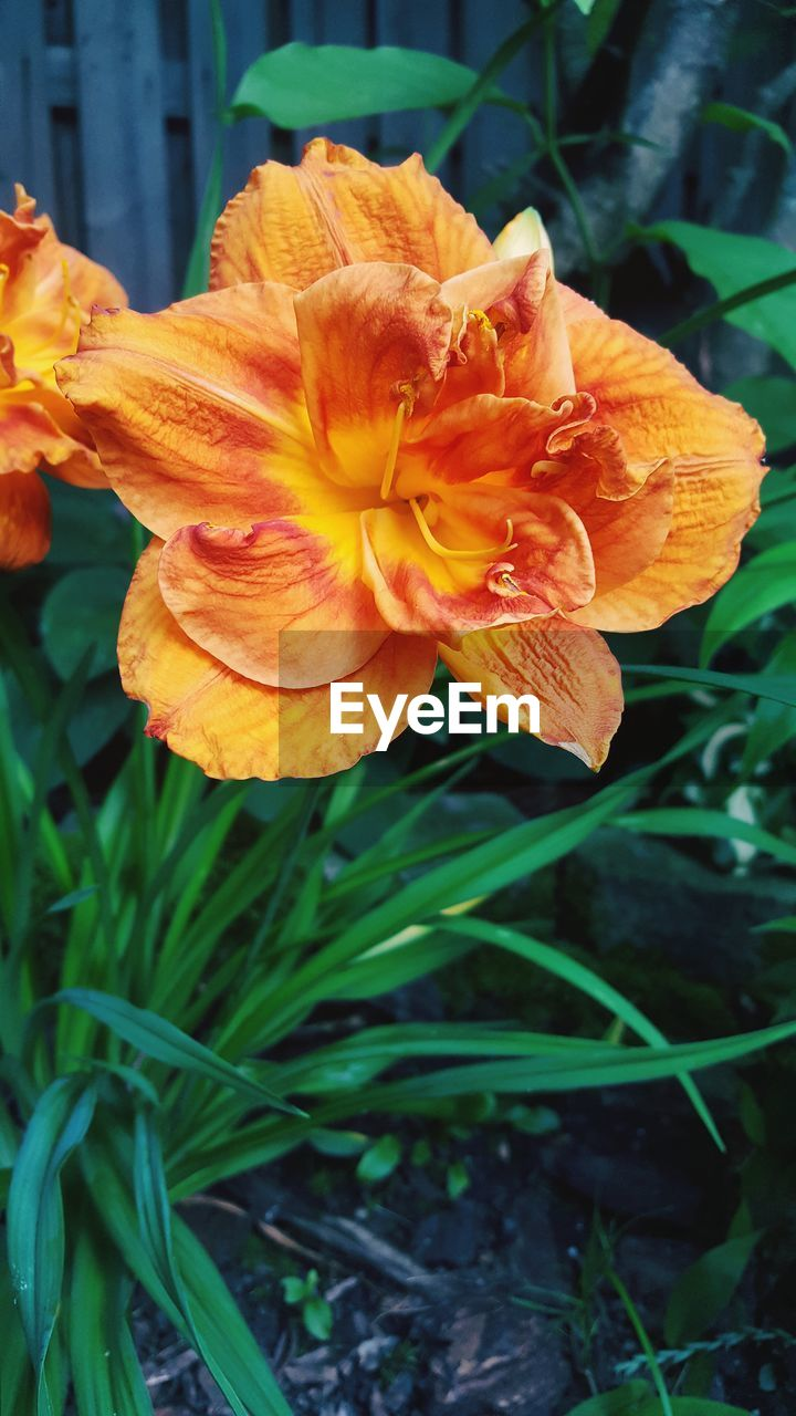flower, petal, nature, plant, growth, beauty in nature, fragility, flower head, outdoors, no people, freshness, close-up, blooming, day, day lily
