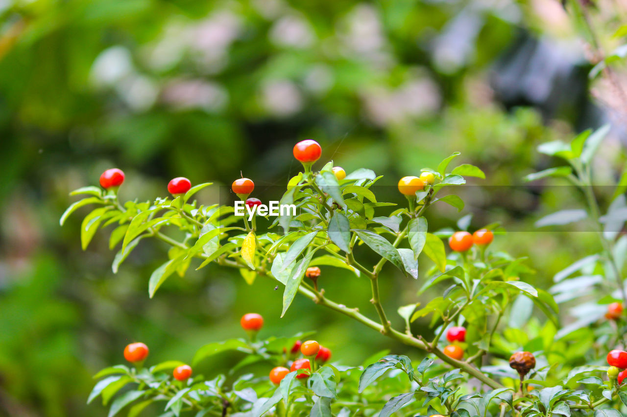 growth, fruit, food, food and drink, plant, healthy eating, freshness, day, green color, beauty in nature, focus on foreground, berry fruit, nature, leaf, plant part, close-up, red, no people, selective focus, tree, outdoors, ripe, rowanberry