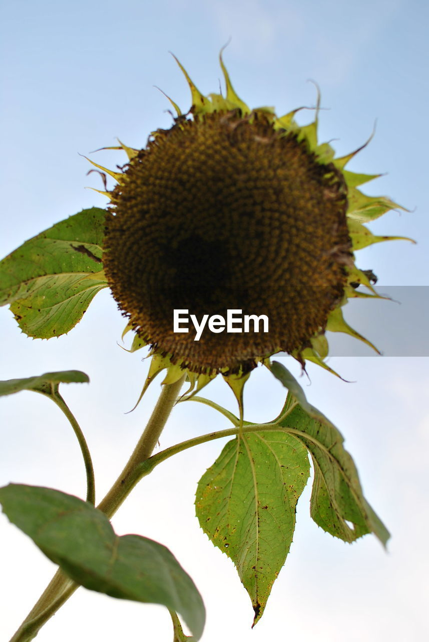 leaf, growth, close-up, plant, nature, no people, freshness, outdoors, sunflower, day, beauty in nature, food, sky, fragility, thistle, flower head
