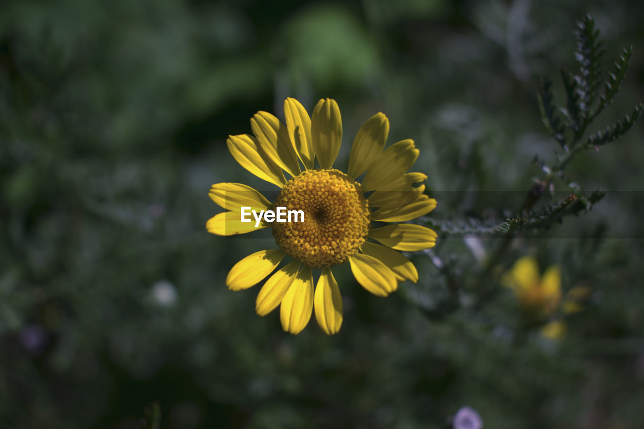 flower, flowering plant, plant, fragility, growth, vulnerability, freshness, yellow, flower head, petal, inflorescence, beauty in nature, close-up, focus on foreground, pollen, nature, outdoors, no people, day, selective focus