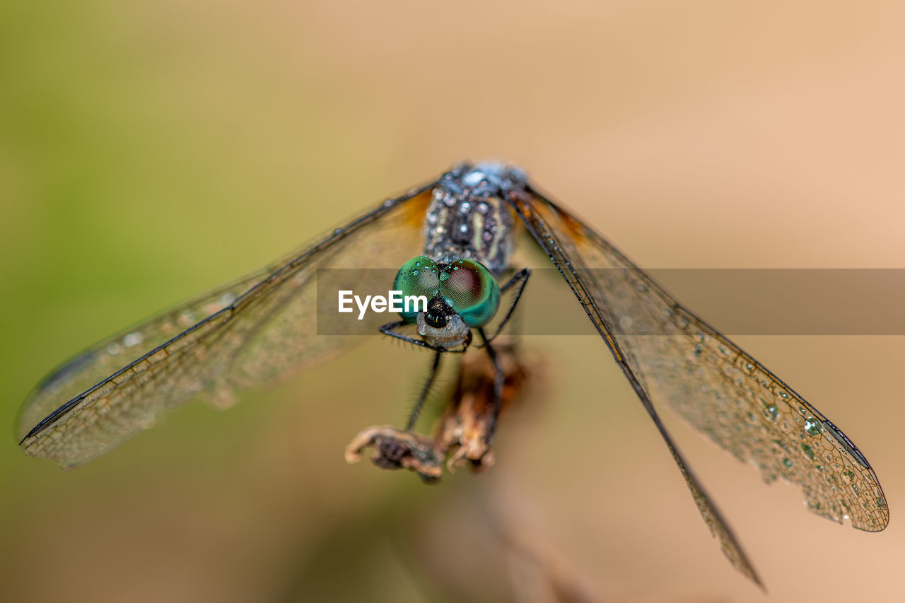 invertebrate, insect, animal wildlife, animal themes, animals in the wild, animal, close-up, one animal, animal wing, focus on foreground, no people, nature, day, zoology, plant part, plant, leaf, dragonfly, selective focus, outdoors, animal eye, butterfly - insect