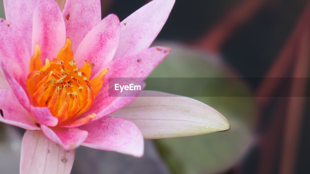 flower, petal, flower head, growth, beauty in nature, nature, pink color, close-up, freshness, plant, focus on foreground, fragility, no people, outdoors, day, blooming, day lily