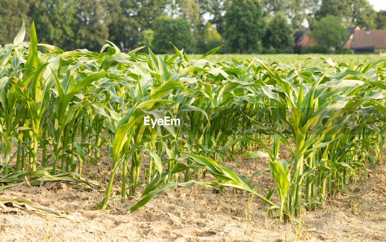 plant, agriculture, growth, crop, field, food, plant part, land, leaf, nature, corn - crop, green color, rural scene, landscape, corn, cereal plant, farm, vegetable, food and drink, day, no people, outdoors, gardening