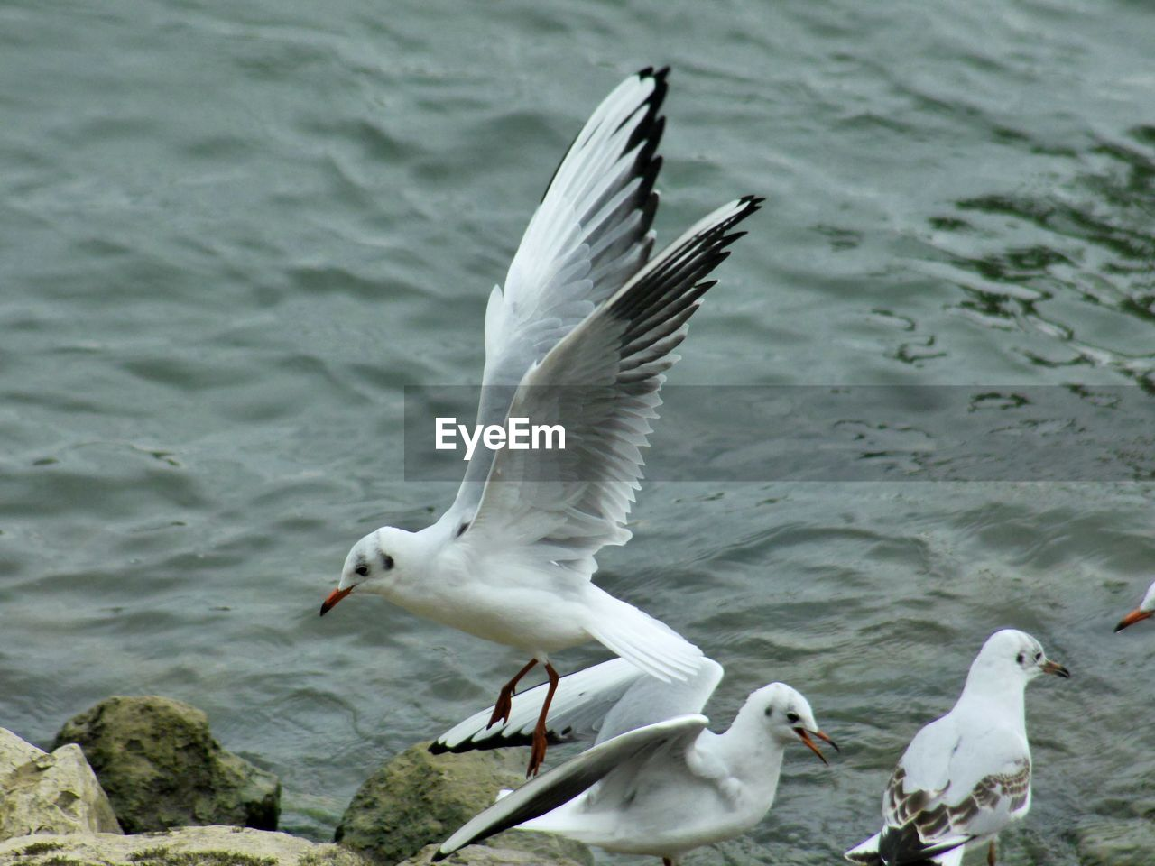 animal themes, bird, animal wildlife, animals in the wild, animal, vertebrate, water, flying, spread wings, group of animals, seagull, white color, lake, nature, no people, day, water bird, sea bird, flapping