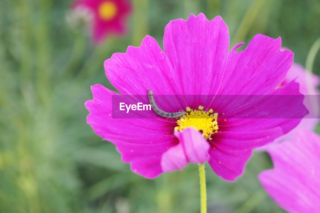flower, petal, nature, beauty in nature, fragility, flower head, freshness, focus on foreground, outdoors, pollen, growth, no people, pink color, close-up, day, yellow, plant, one animal, blooming, animal themes, cosmos flower, animals in the wild