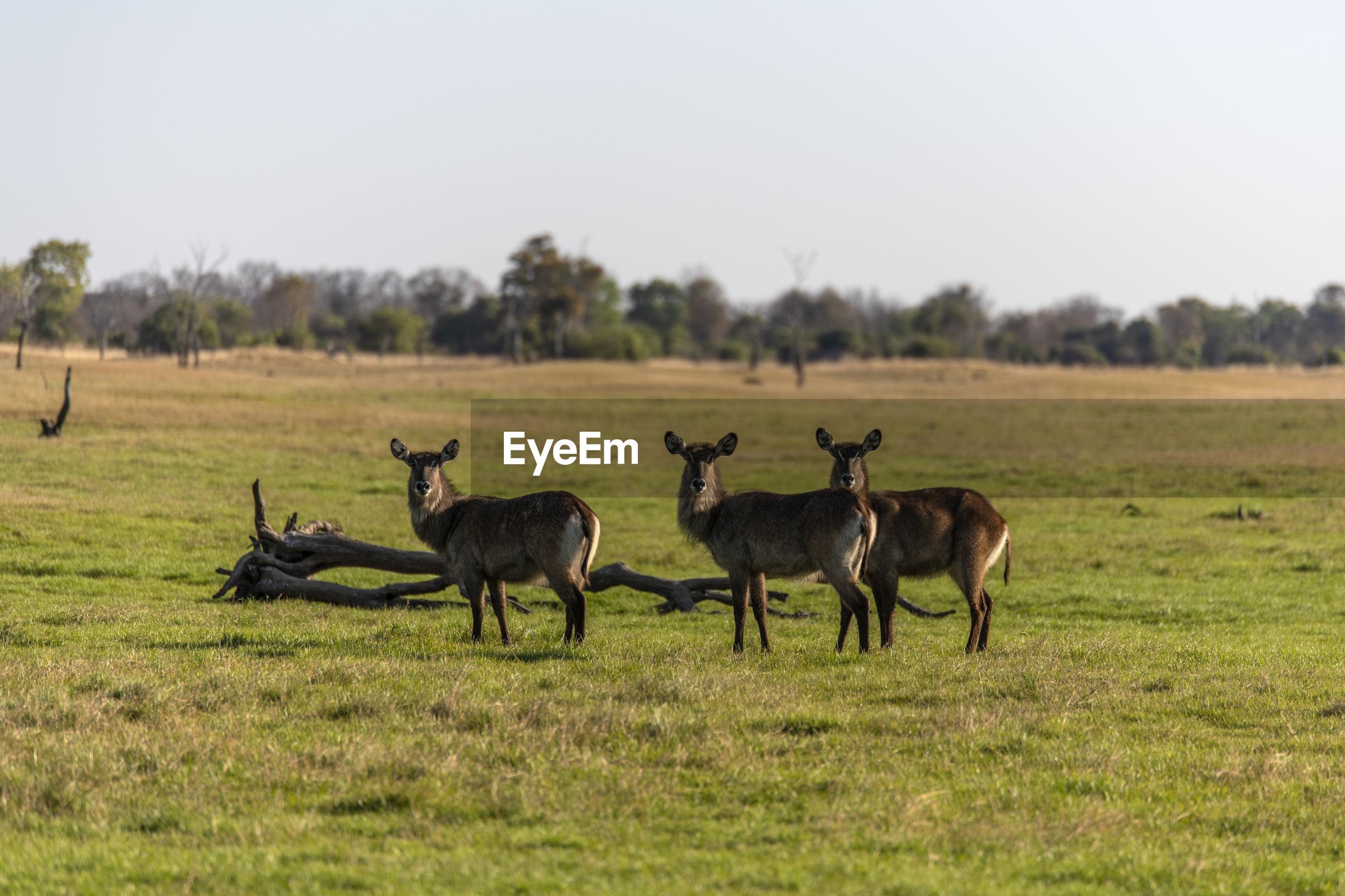 Portrait of deers standing on land