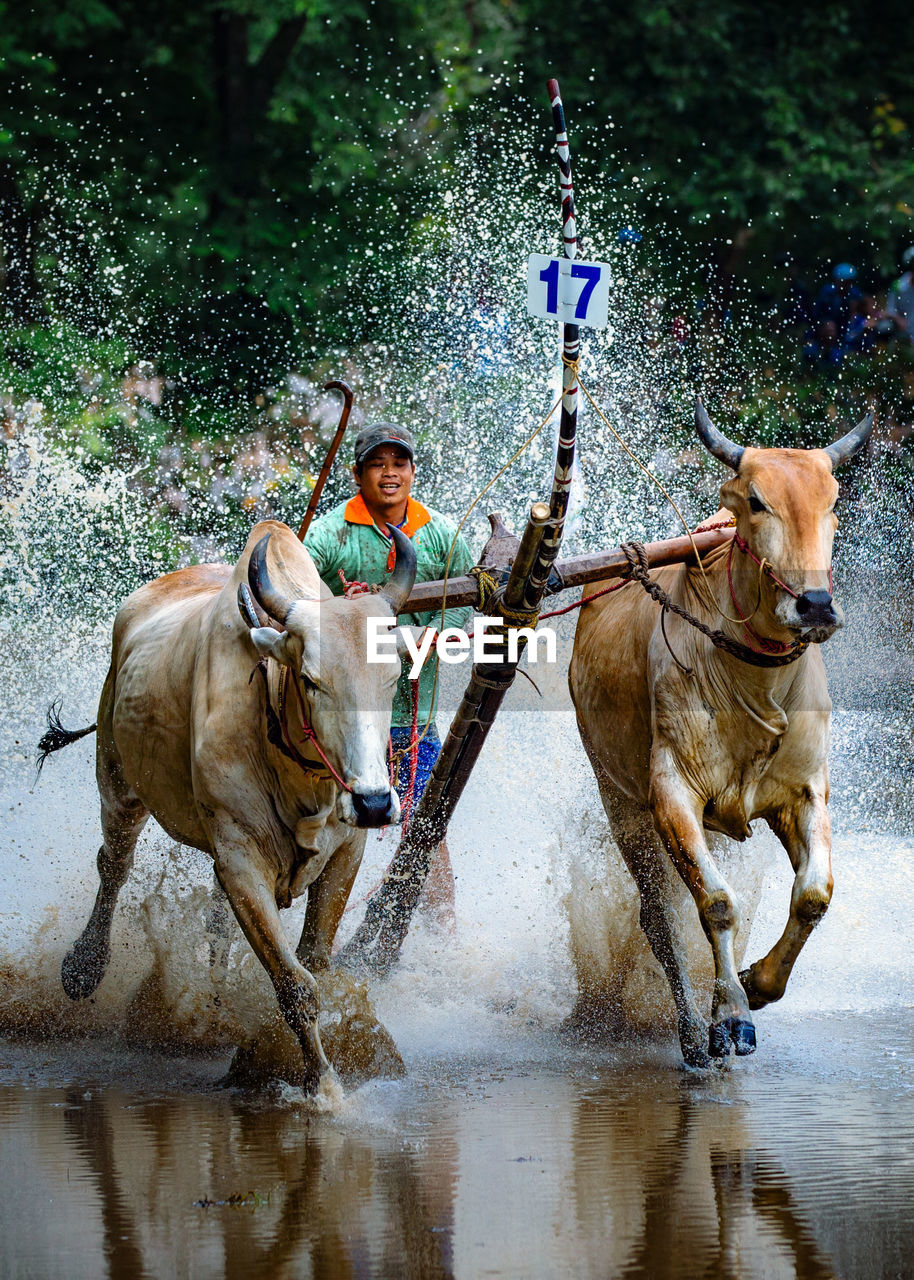 Man And Oxen Ploughing In Water