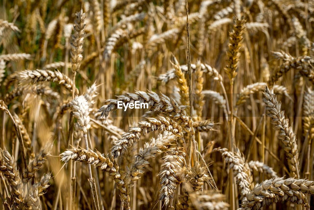 Full Frame Shot Of Wheat Growing On Farm